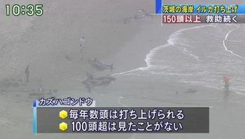 茨城県鉾田市にイルカ打ち上げ.jpg